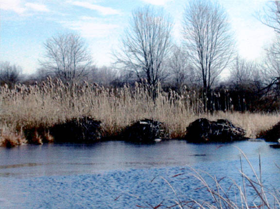 Beaver lodges located at the point where the water from Quaker Pond enters       Irondequoit Creek.